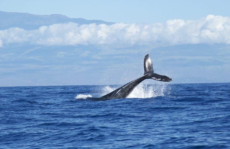 sabina balena